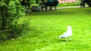 Seagull Eats a Live Bird